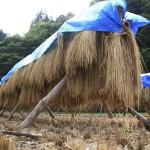 自然乾燥の米
