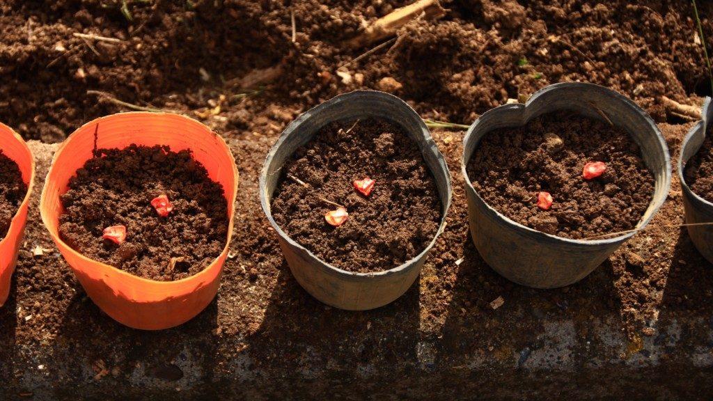 とうもろこし栽培方法