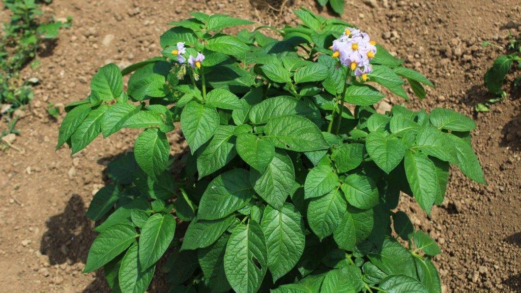 発芽と追肥と土寄せ