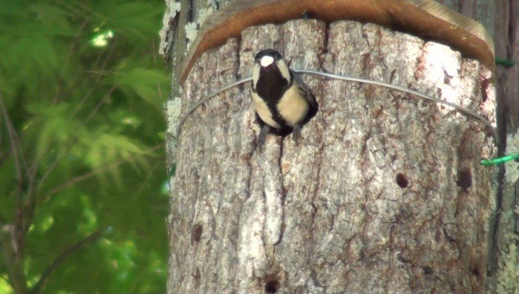 ヒマワリの種が大好きなシジュウカラの動画