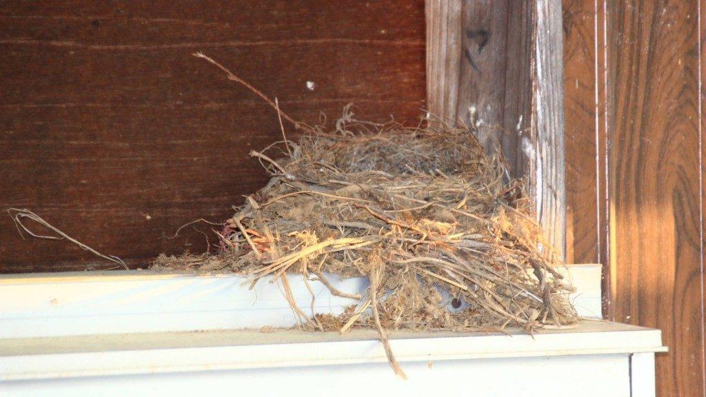 家の窓にセキレイの巣