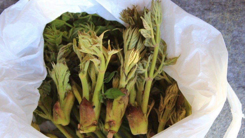 春の山菜4種類を収穫