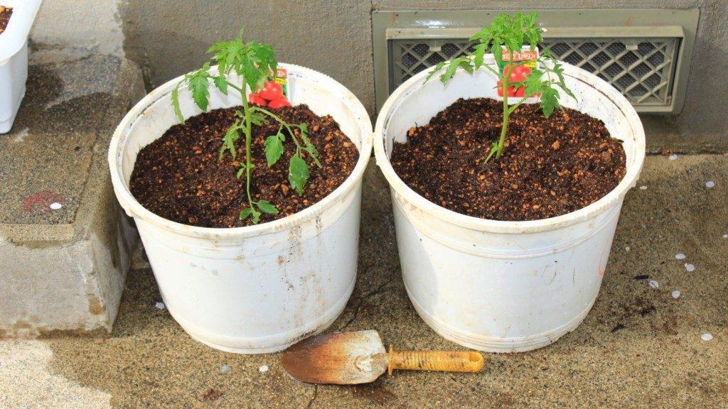 バケツに移植したミニトマトの苗