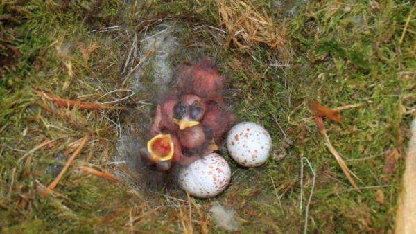 生まれたてのヤマガラの雛