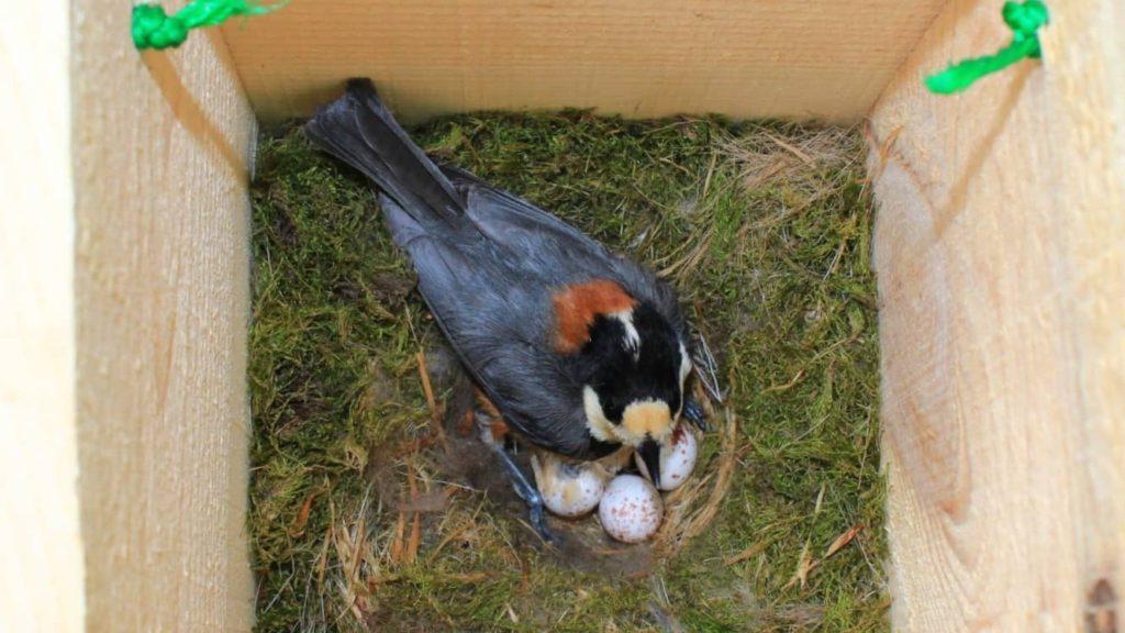 卵を抱いて11日目のヤマガラの親