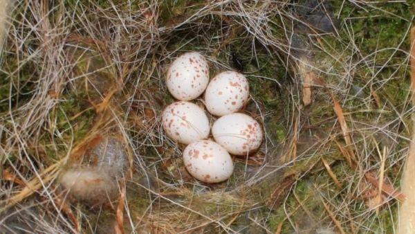 生みたてのヤマガラの卵
