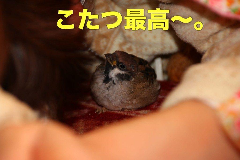 コタツが好きな雀