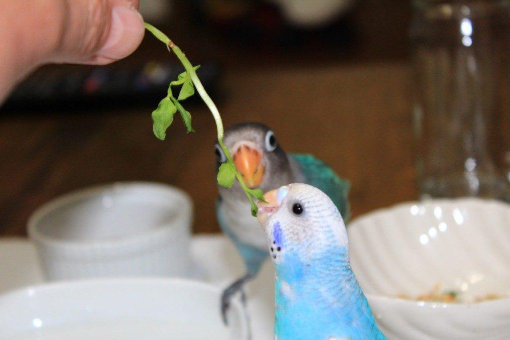 インコの大好物は豆苗(とうみょう)