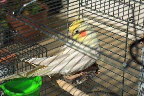 セキセイとオカメインコの日光浴の効果と危険回避の注意事項