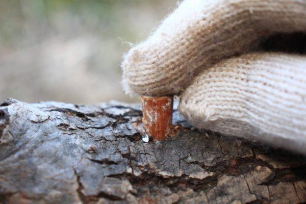 原木キノコの栽培方法「森のヒラタケ」を柳の木に駒打ちする